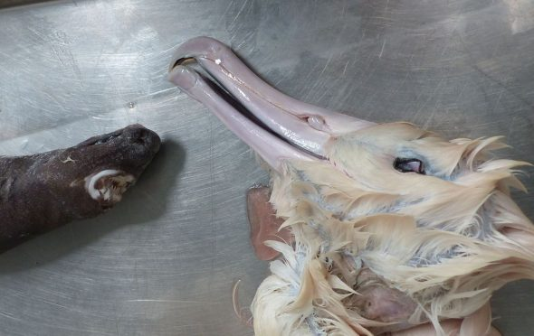 Northern royal albatross and seal shark specimens on lab table at Te Papa