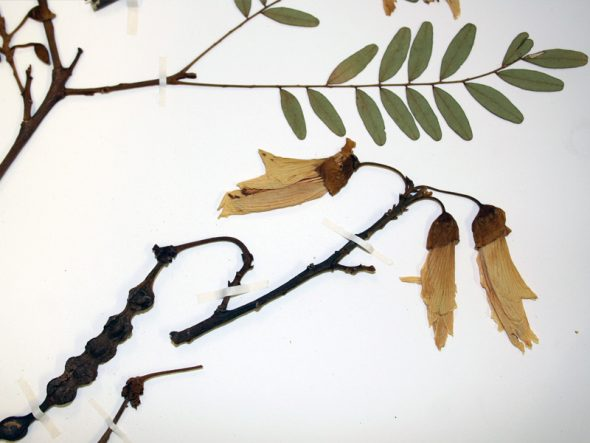 Detail of a specimen of kowhai, with pinnately compound leaves, large yellow flowers, and long legume fruits. Photo by Heidi Meudt © Te Papa.