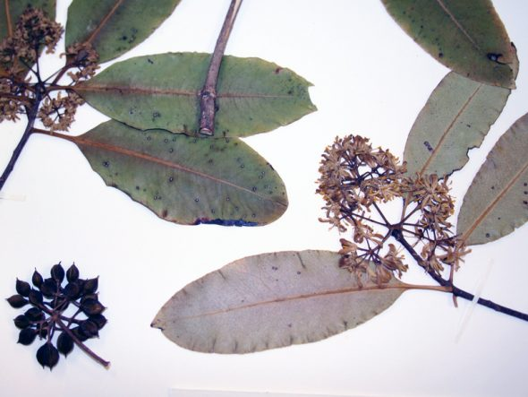 Detail of a specimen of lemonwood, with simple, entire leaves, and flowers and fruits in umbels. Photo by Heidi Meudt © Te Papa.