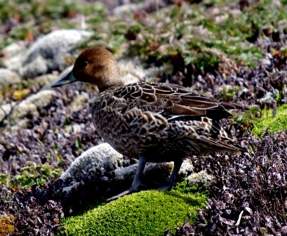 Eaton's pintail, Isle de la Possession, Crozet Islands. Image by Colin Miskelly, copyright IPEV/Te Papa