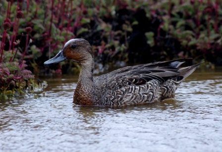 Male Eaton's pintail, Ile Mayes. Image by Colin Miskelly, copyright IPEV/Te Papa