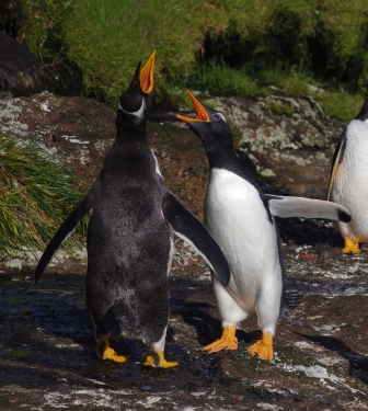 Gentoo penguin greeting display, Isle de la Possession, Crozet Islands. Image by Colin Miskelly, copyright IPEV/Te Papa