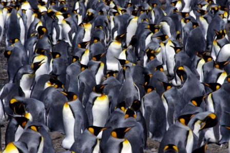 King penguin colony, Baie du Marin, Crozet Islands. Image by Colin Miskelly, copyright IPEV/Te Papa