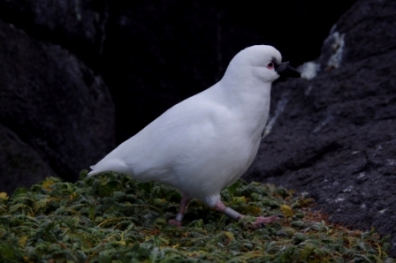Black-faced sheathbill, Ile Mayes. Image by Colin Miskelly, copyright IPEV/Te Papa