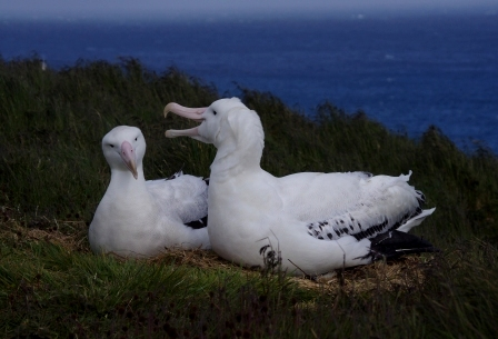 Courting wandering albatrosses, Isle de la Possession, Crozet Islands. Image by Colin Miskelly, copyright IPEV/Te Papa