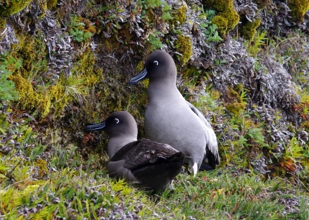 Courting light-mantled sooty albatrosses, Isle de la Possession, Crozet Islands. Image by Colin Miskelly, copyright IPEV/Te Papa