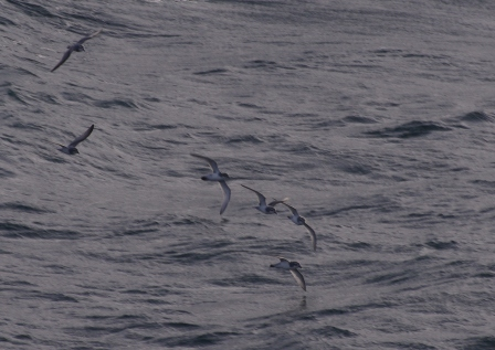 Prion flock, southern Indian Ocean. Image by Colin Miskelly, copyright IPEV/Te Papa