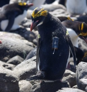 Macaroni penguin with GPS logger attached. Image by Colin Miskelly, copyright IPEV/Te Papa