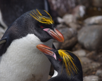 Macaroni penguins, Cap Cotter, Kerguelen Islands. Image by Colin Miskelly, copyright IPEV/Te Papa