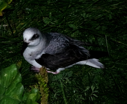 White-headed petrel, Ile Mayes. Image by Colin Miskelly, copyright IPEV/Te Papa