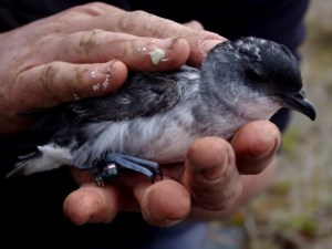 South Georgian diving petrel with leg-band-mounted GLS tag, Ile aux Cochons, Iles Kerguelen. Image by Colin Miskelly, copyright IPEV/Te Papa