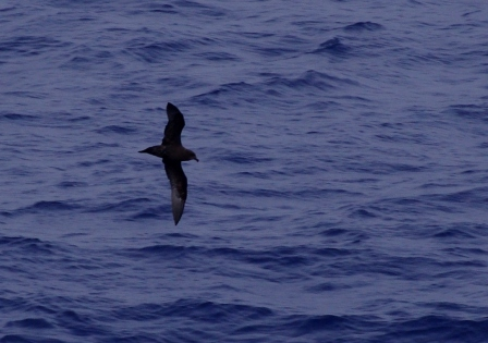 Great-winged petrel, southern Indian Ocean. Image by Colin Miskelly, copyright IPEV/Te Papa
