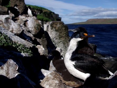 Kerguelen shags, Ile aux Cochons. Image by Colin Miskelly, copyright IPEV/Te Papa