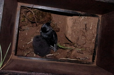 South Georgian diving petrel adult and chick inside nest box, Ile aux Cochons, Iles Kerguelen. Image by Colin Miskelly, copyright IPEV/Te Papa
