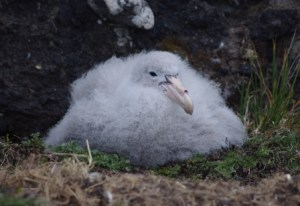Northern giant petrel chick, Isle de la Possession, Crozet Islands. Image by Colin Miskelly, copyright IPEV/Te Papa