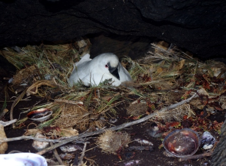 Black-faced sheathbill on nest, Ile aux Cochons. Image by Colin Miskelly, copyright IPEV/Te Papa