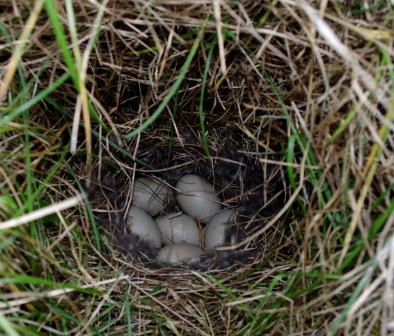 Eaton's pintail nest, Ile aux Cochons. Image by Colin Miskelly, copyright IPEV/Te Papa