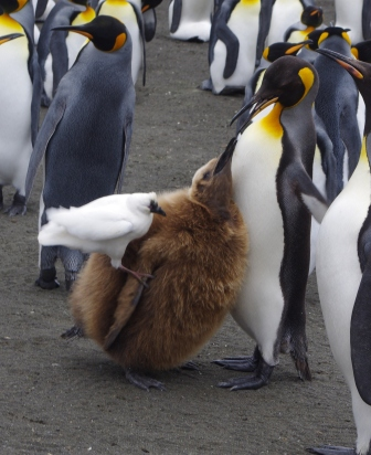 Black-faced sheathbill mugging a king penguin chick being fed by its parent; Isle de la Possession, Crozet Islands. Image by Colin Miskelly, copyright IPEV/Te Papa