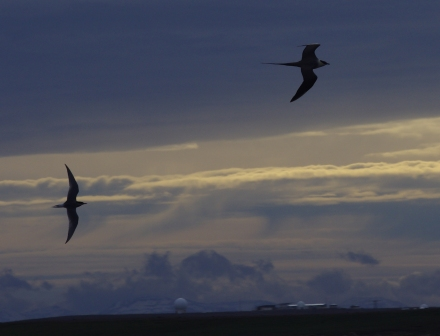 Long-tailed skua (top right), Antarctic tern and the CNES radar ball, Kerguelen Islands. Image by Colin Miskelly, copyright IPEV/Te Papa