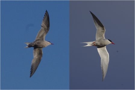 Kerguelen tern (left) and Antarctic tern (right), Ile aux Cochons. Image by Colin Miskelly, copyright IPEV/Te Papa
