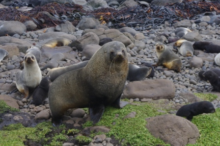 Antarctic fur seal bull, harem and pups. Image by Colin Miskelly, copyright IPEV/Te Papa