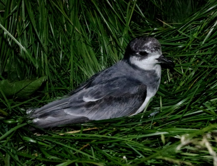 Blue petrel, Ile aux Cochons, Iles Kerguelen. Image by Colin Miskelly, copyright IPEV/Te Papa