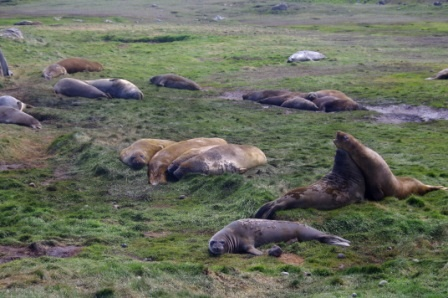 Elephant seals, Port aux Français, Kerguelen Islands. Image by Colin Miskelly, copyright IPEV/Te Papa