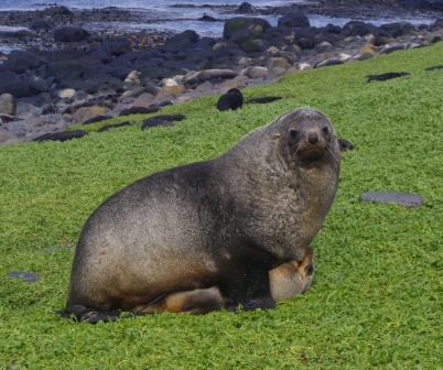 Antarctic fur seals mating. Image by Colin Miskelly, copyright IPEV/Te Papa