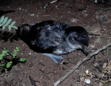 Common diving petrel, Ile aux Cochons, Iles Kerguelen. Image by Colin Miskelly, copyright IPEV/Te Papa