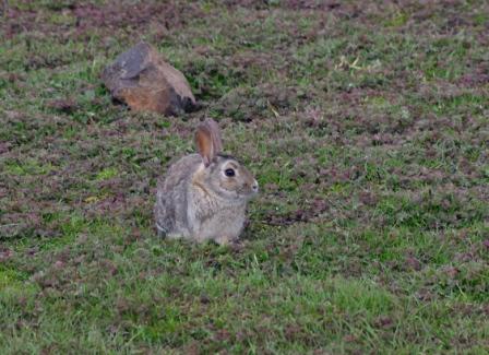Rabbit, Port aux Français, Iles Kerguelen. Image by Colin Miskelly, copyright IPEV/Te Papa