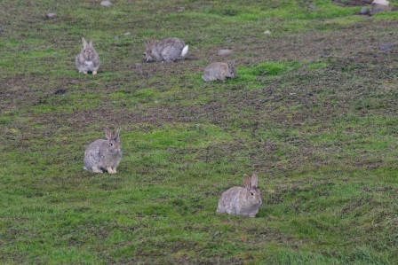 Rabbits at Port aux Français, Kerguelen Islands. Image by Colin Miskelly, copyright IPEV/Te Papa