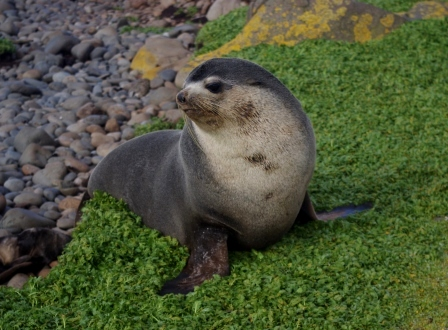 Subantarctic fur seal bull. Image by Colin Miskelly, copyright IPEV/Te Papa