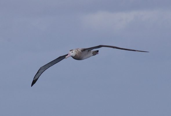 Wandering albatross (female). Image Colin Miskelly, copyright IPEV/Te Papa