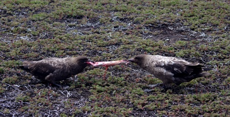 How to skin a rabbit ; two southern skuas at work, Pointe Charlotte, Iles Kerguelen. Image by Colin Miskelly, copyright IPEV/Te Papa