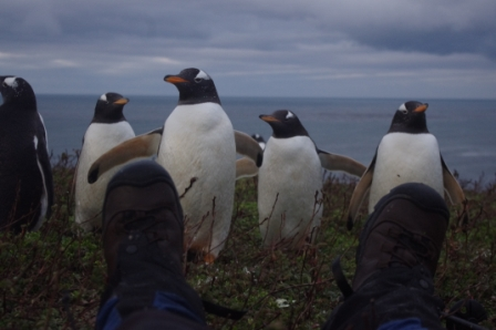 Inquisitive gentoo penguins. Image by Colin Miskelly, copyright IPEV/Te Papa
