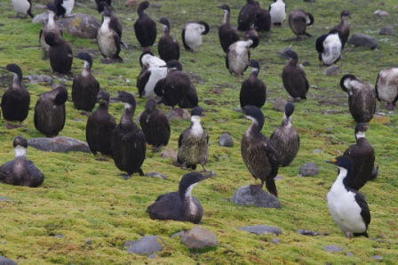 Kerguelen shags, Port aux Français, Kerguelen Islands. Image by Colin Miskelly, copyright IPEV/Te Papa