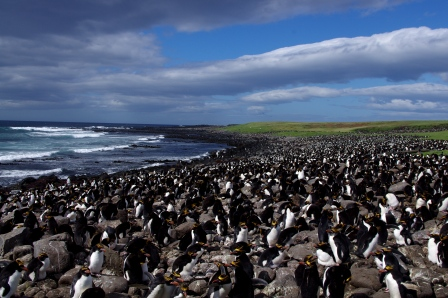 Macaroni penguin colony, Cap Cotter, Kerguelen Islands. Image by Colin Miskelly, copyright IPEV/Te Papa