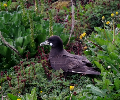 White-chinned petrel, Ile Mayes. Image by Colin Miskelly, copyright IPEV/Te Papa