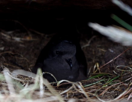 Wilson's storm petrel incubating its single egg, Ile aux Cochons, Iles Kerguelen. Image by Colin Miskelly, copyright IPEV/Te Papa