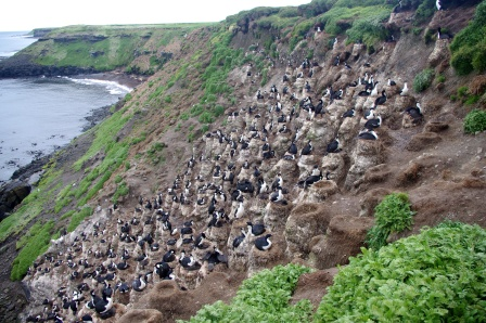 Kerguelen shag colony. Image by Colin Miskelly, copyright IPEV/Te Papa