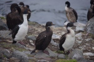 Kerguelen shags, Port aux Français, Kerguelen Islands (from left to right: adult, juvenile, immature). Image by Colin Miskelly, copyright IPEV/Te Papa