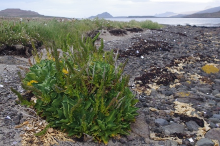 Kerguelen cabbage growing on shoreline, Ile aux Cochons. Image by Colin Miskelly, copyright IPEV/Te Papa