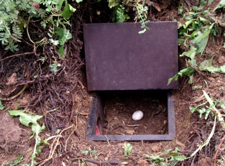 Nest box with common diving petrel egg, Ile Mayes. Image by Colin Miskelly, copyright IPEV/Te Papa