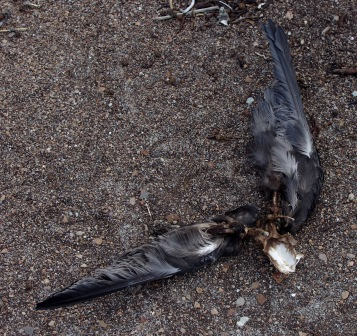 Skua-killed great-winged petrel, Ile aux Cochons, Iles Kerguelen. Image by Colin Miskelly, copyright IPEV/Te Papa