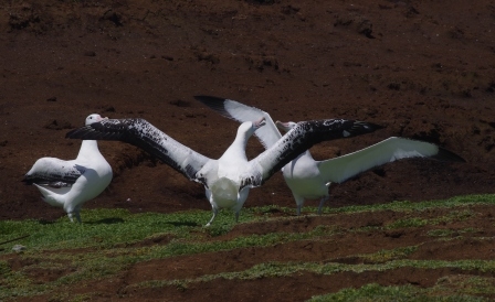 Wandering albatrosses displaying, Cap Cotter, Kerguelen Islands. Image by Colin Miskelly, copyright IPEV/Te Papa