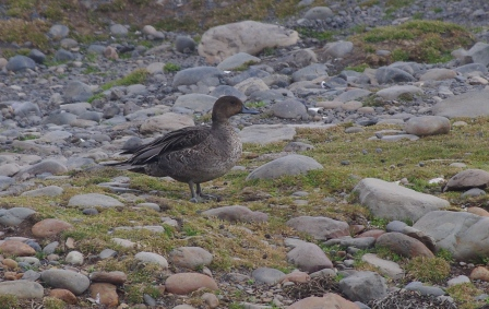 Male Eaton's pintail, Port aux Français, Kerguelen Islands. Image by Colin Miskelly, copyright IPEV/Te Papa