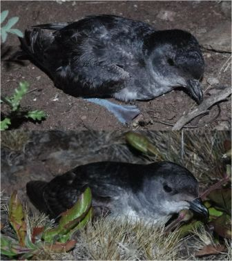 Common diving petrel (above) and South Georgian diving petrel (below), Ile aux Cochons. Image by Colin Miskelly, copyright IPEV/Te Papa
