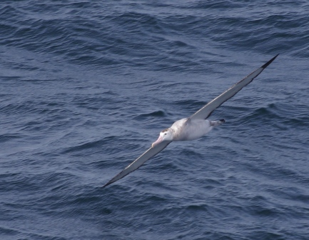 Wandering albatross, southern Indian Ocean. Image by Colin Miskelly, copyright IPEV/Te Papa