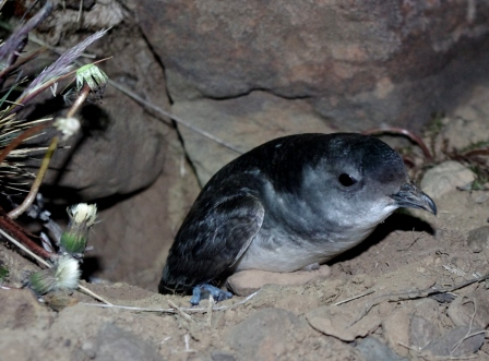 South Georgian diving petrel exiting its breeding burrow, Ile aux Cochons, Iles Kerguelen. Image by Colin Miskelly, copyright IPEV/Te Papa