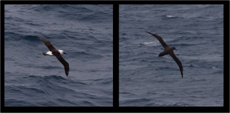 Indian Ocean yellow-nosed mollymawk (left) and sooty albatross (right) south of St Paul Island. Images by Colin Miskelly, copyright IPEV/Te Papa